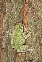 "0916-07xx  Gray Tree Frog - Hyla versicolor ""Virginia"" © David Kuhn/Dwight Kuhn Photography"