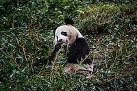 A wild panda eats bamboo in its enclosure at the Hetaoping Panda Conservation Centre.