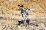 African painted dog (Lycaon pictus)(sometimes wild dog or hunting dog) with pups. Outside den, Engusoro Plain, Ngorongoro Conservation Area (NCA) / Serengeti. Tanzania.