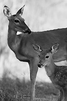 Our whitetail deer have been suffering through the worst drought in 60 years. Every day is a struggle, with vegetation increasingly scarce. It's effect will impact all wildlife here in Central Texas for years to come..