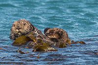 Southern Sea Otter (Enhydra lutris nereis) mother and pup rest in kelp.  Central California Coast.