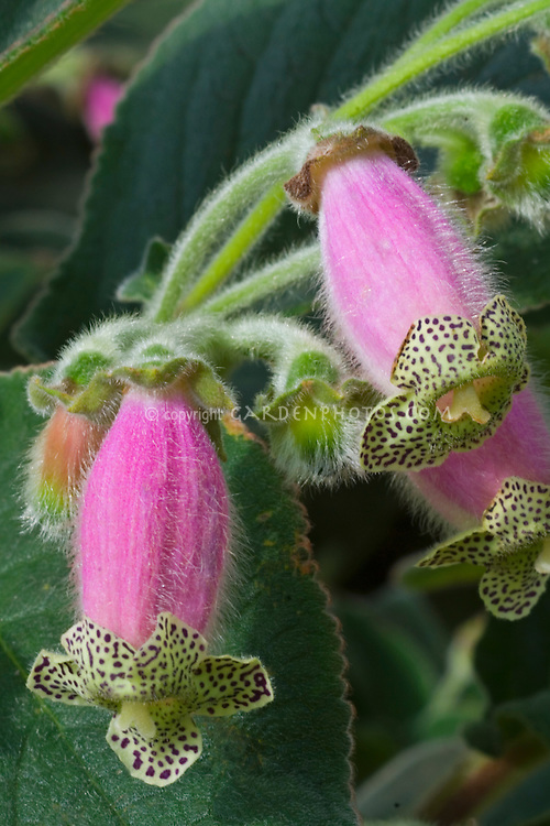 Kohleria digitaliflora flowers with spotted collar Houseplant
