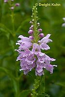 FP16-500z   Obedient Plant, Physostegia virginia 'Vivid'