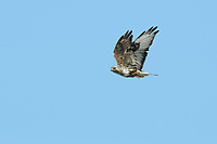 Adult male Rough-legged Hawk (Buteo lagopus) in flight. Seward Peninsula, Alaska. May.