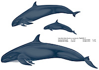 False killer whale, Pseudorca crassidens, family, illustration by the artist Wyland