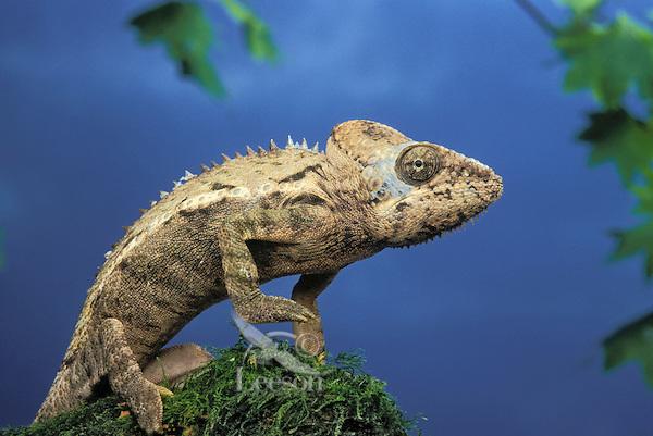 GIANT SPINY CHAMELEON..Native to Madagascar. Captive..(Chamaeleo verrucosus)..