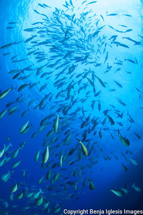 Big School of sleek unicornfish at the backwall Molokini Maui Hawaii.This fish are plankton eaters.
