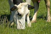 Holstein cows grazing, Lancashire.......Copyright John Eveson,Dinkling Green Farm, Whitewell, Clitheroe, Lancashire. BB7 3BN. ..01995 61280..j.r.eveson@btinternet.com..www.cfimages.co.uk
