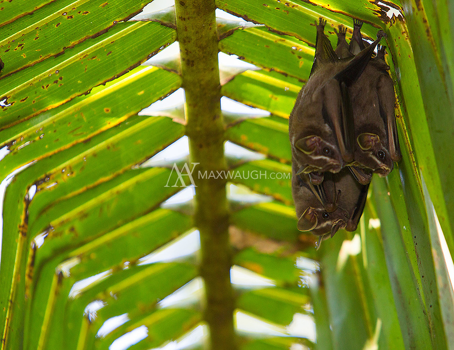 """You can see where these bats have chewed the fronds to make them bend, forming the """"tent"""" that serves as their daytime shelter."""