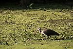 Brazoria County, Damon, Texas; a juvenile White Ibis bird foraging for food amongst the water plants on the surface of the slough in late afternoon sunlight