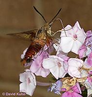 0903-0806  Flying Hummingbird Clearwing Moth Feeding on Nectar, Hemaris thysbe © David Kuhn/Dwight Kuhn Photography.
