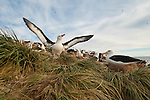 A black-browed albatross rookery on Steeple Jason Island in the Falklands.