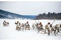 Indigenous Evenki race their reindeer pulled sleges at the annual Khatystyr reindeer festival. Evenki culture revolves around these animals, their livelihood and cultural identity hinging on their herds. An explosion of the wolf population has had a devastating impact on the reindeer herds that are the lifeblood for the indigenous Evenki people of the Siberian state of Sakha (Yakutia). In 2012 it was estimated that between 12,000 - 16,000 reindeer were lost to wolf attacks, at a cost of around 15,000 rubles (153.00 GBP) per animal. In response the local authorities introduced a three month hunt with a bounty to encourage hunters to target wolves with the aim of reducing their numbers from 3,500 to 500. Hunters earn 400 USD (280 GBP) per proven kill, plus a further 400 USD (280 GBP) selling the skin to the fur trade. Ion Maksimovic, the region's most celebrated wolf hunter, killed 23 wolves in 2014, more than any other hunter, and in doing so won a prize of 300,000 roubles (3,060 GBP) and a snowmobile.