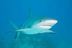 Grand Bahama Island, The Bahamas; a Caribbean Reef Shark (Carcharhinus perezi) swimming over the sandy bottom past coral patch reefs