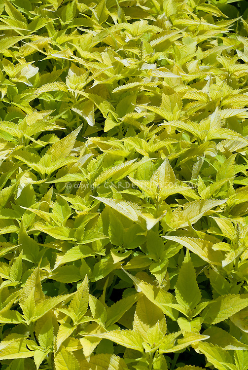 Coleus 'Peridot' solenostemon in yellow green foliage color, annual ornamental leaves. This gem forms a small mound of light lime green. The leaves have both cut and ruffled edges. Self-branching and slow to flower for a clean look. Compact and neat with layer branching and foliage for a new look for coleus!