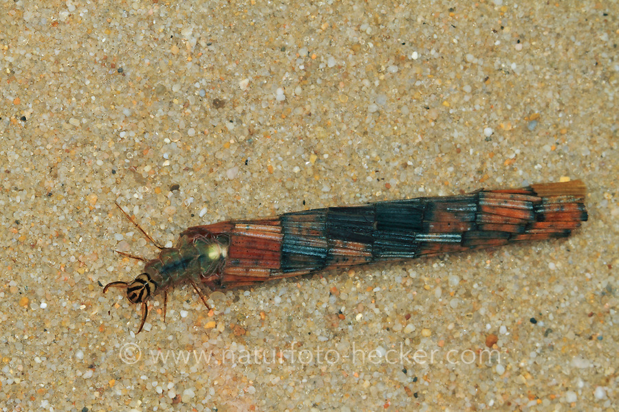 Köcherfliege, Große Köcherfliege, Larve in ihrem Köcher, Phryganea grandis, Köcherfliegen, caddisfly, Large Red Sedge, larva, sedge-fly, rail-fly, caddisflies, sedge-flies, rail-flies, Trichoptera
