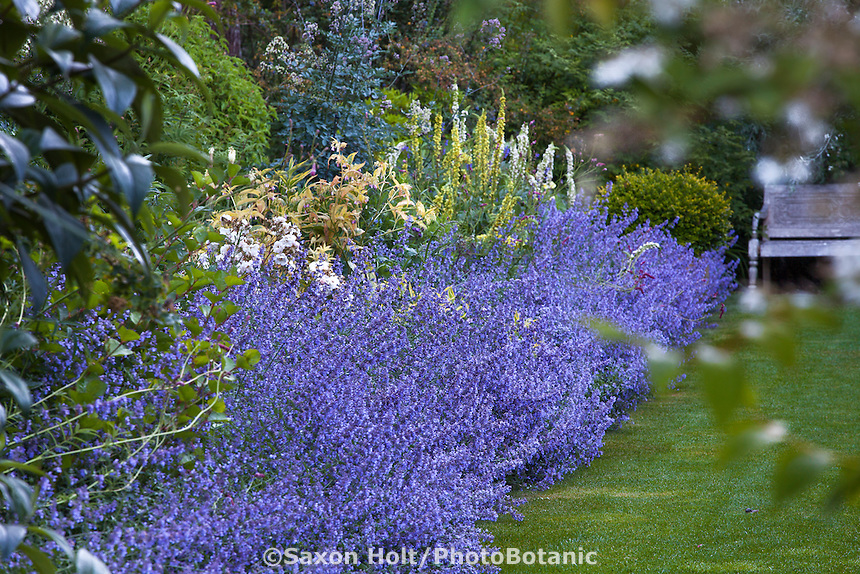 Catmint, Nepeta 'Walker's Low' flowering along perennial border in Gary Ratway garden