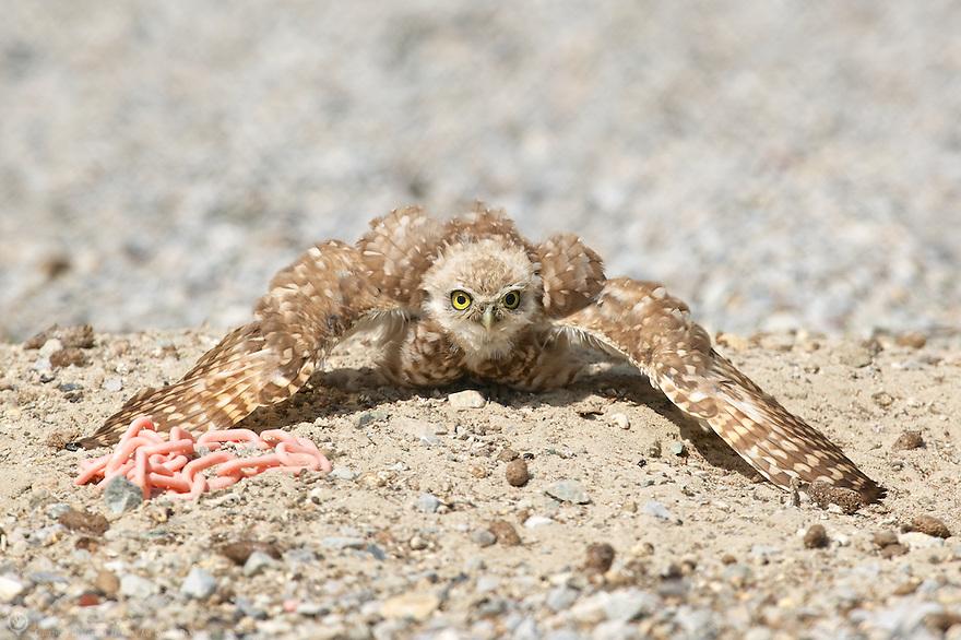 Burrowing Owl cowling to show the burrow belongs to him.