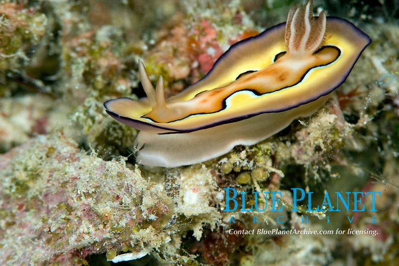 Chromodoris coi nudibranch