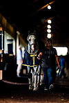 JUNE 06: Disco Partner prepares for The Jaipur Stakes at Belmont Park in Elmont, New York on June 06, 2019. Evers/Eclipse Sportswire/CSM