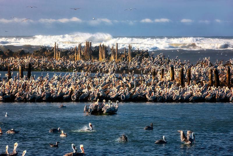 Brown Pelicans (Pelecanus occidentalis). Mouth of Coquille River, Oregon