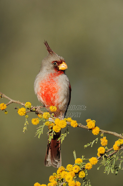 Pyrrhuloxia (Cardinalis sinuatus), adult male on blooming Huisache tree (Acacia farnesiana),Dinero, Lake Corpus Christi, South Texas, USA