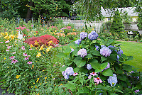 Lush flowering backyard with fence, lawn grass, daylilies, hydrangea, Jpanaese maple tree, rudbeckia black eyed susans, echinacea purple coneflowers, lilies