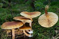 Geflecktblättriger Flämmling, Gefleckter Flämmling, Faserigberingter Flämmling, Gelbblättriger Flämmling, Gemeiner Flämmling, Schupopilz, Gymnopilus penetrans, Gymnopilus hybridus, Common Rustgill mushroom, le Gymnopile pénétrant