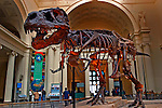 On May 17, 2000 The Field Museum unveiled Sue, the largest, most complete, and best preserved T. rex fossil yet discovered...The skeleton on display is the real thing. Not a plastic model or a plaster cast. Not a patchwork or composite of bones from different specimens...Sue stands 13 feet high at the hips and 42 feet long from head to tail. One of the only pieces of Sue that is not mounted is her 5-foot-long skull, which is too heavy to be placed on the steel armature that holds together her more than 200 fossilized bones. In its place, the Museum has installed a cast replica. Sue?s real skull is on display in an exhibit on the second-floor balcony overlooking Stanley Field Hall. Here, visitors can get an up-close view of Sue?s massive head, as well as some insight into the mounting process and the story of how Sue ended up at The Field Museum. In addition, visitors can view animated CT scans of the skull and touch a variety of casts of Sue?s bones, including a rib, forelimb and tooth.