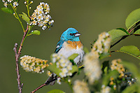 Male Lazuli Bunting (Passerina amoena) perched in choke cherry.  Western U.S., summer.