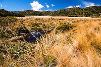 Golden tussock at Gouland Downs on Heaphy Track, Kahurangi National Park, Nelson Region, New Zealand