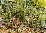 Beech, Fall landscape, Helsingborg region, Sweden