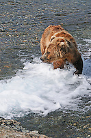 A brown bear scans the river for salmon at the McNeil River Falls,  in Alaska's McNeil River State Game Sanctuary.