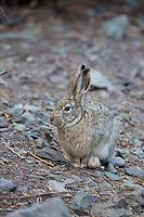 Tibetan Wooly Hare in Rumbak Gorge, Ladakh