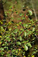 Gewöhnlicher Faulbaum, Früchte, Frangula alnus, Rhamnus frangula, Alder Buckthorn, Common Buckthorn, fruit
