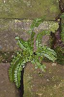 Brauner Streifenfarn, Braunstieliger Streifenfarn, in den Fugen einer alten Mauer, Asplenium trichomanes, Maidenhair Spleenwort