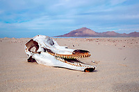 skull and teeth of adult bottlenose dolphin, Tursiops truncatus, on the beach at Punta Sargento, Sonora, Mexico, Pacific Ocean