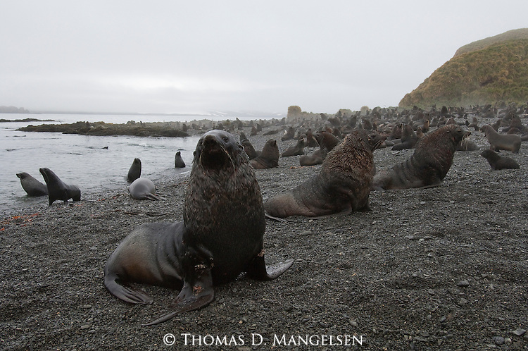 A colony of fur seals sit on a pebbly beach on Prion Island, South Georgia.