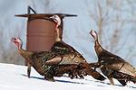 Eastern turkey in snow