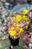 painted frogfish or anglerfish, Antennarius pictus, Thailand, Indian Ocean