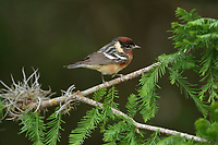 Bay-breasted Warbler (Dendroica castanea), male perched, South Padre Island, Texas, USA