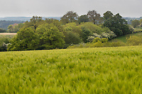 27-5-2021 Winter barley in Rutland<br /> ©Tim Scrivener Photographer 07850 303986<br />      ....Covering Agriculture In The UK....