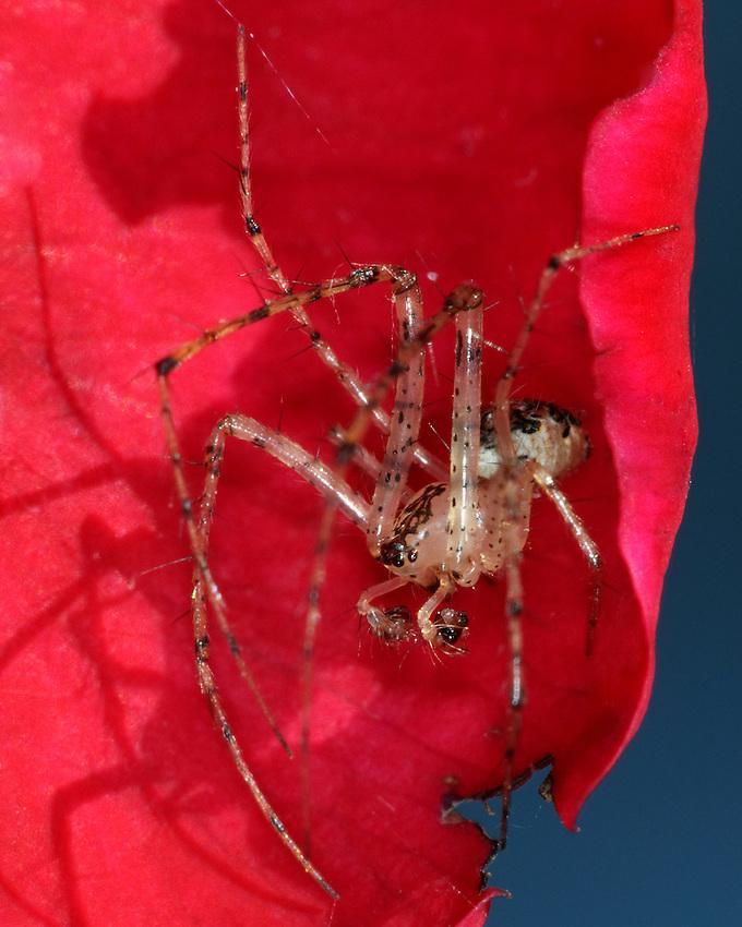 Patriotic Spider