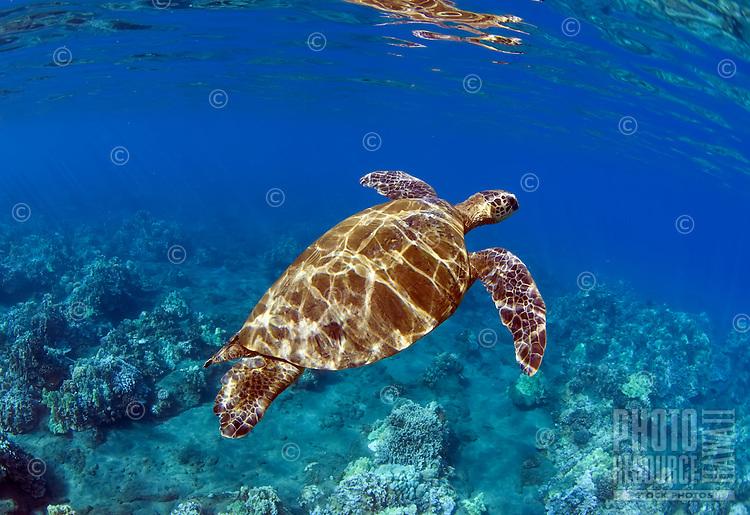Green sea turtle in Lahaina, Maui, Hawaii.