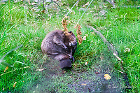 2017-08-04_Urban Wildlife_Beaver