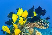 green sea turtle, Chelonia mydas, being cleaned by yellow tang, Zebrasoma flavescens, and kole tang, Spotted surgeonfish, goldring surgeonfish, or yellow-eyed tang, Ctenochaetus strigosus, Kona Coast, Big Island, Hawaii, USA, Pacific Ocean