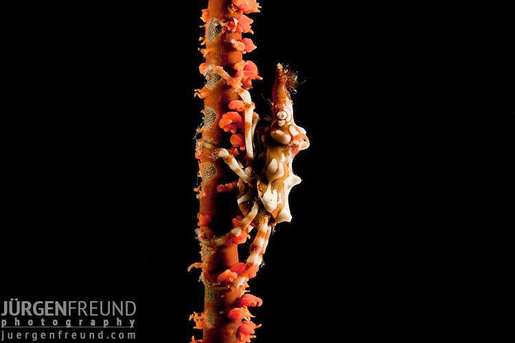 Zanzibar Shrimp on Spiral Coral  (Dasycaris zanzibarica) on (Cirrhipathes spiralis)