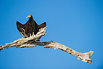 Lesser Yellow-headed Vulture (Cathartes burrovianus) bathing in early morning sun shine. Taiama Ecological Reserve, Pantanal, Brazil.