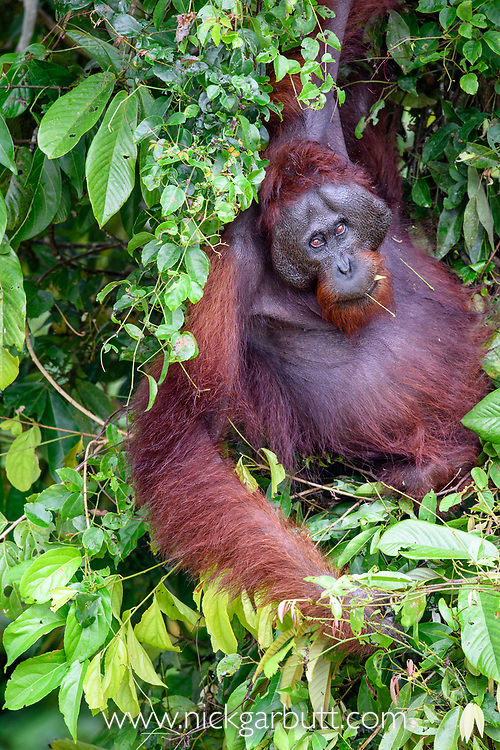 Adult male Bornean orang-utan (Pongo pygmaeus) feeding in riverine forest on the banks of the Kinabatangan River, Sabah, Borneo.