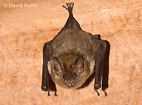 0715-1109  Seba's Short-tailed Bat, Roosting in Building in Belize, Carollia perspicillata  © David Kuhn/Dwight Kuhn Photography